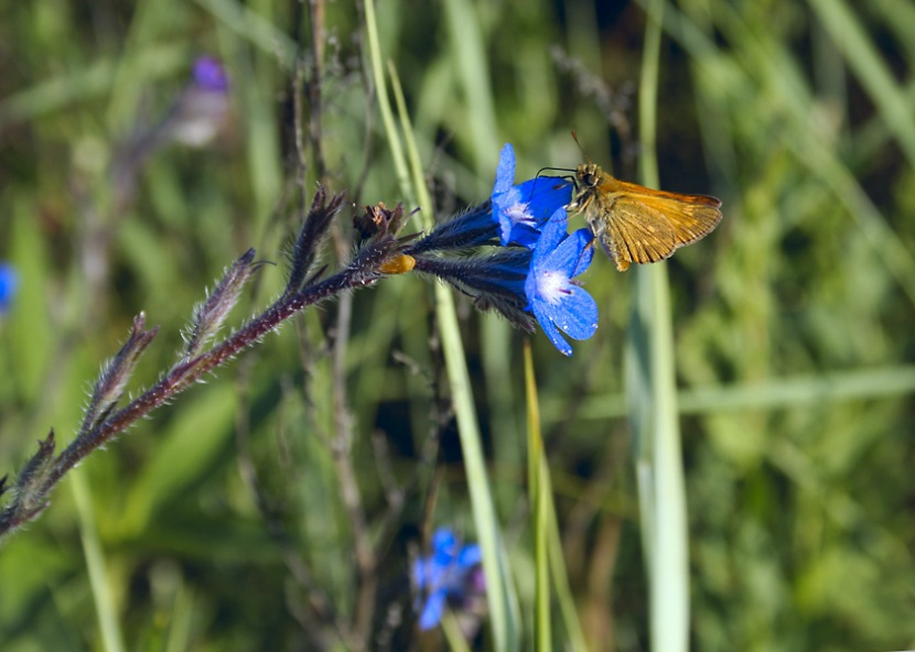 Borago officinalis and butterfly