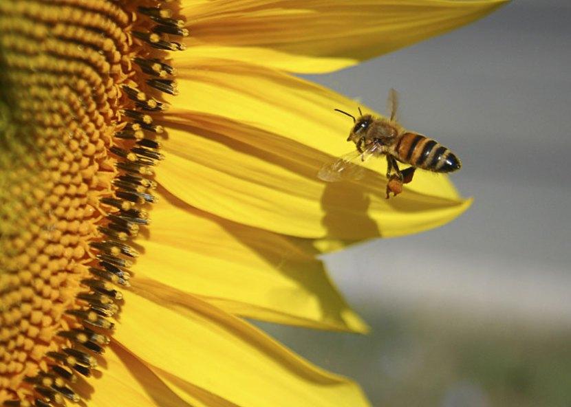 Un ape porta polline e nettare