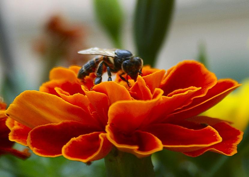ritratto di un\'ape