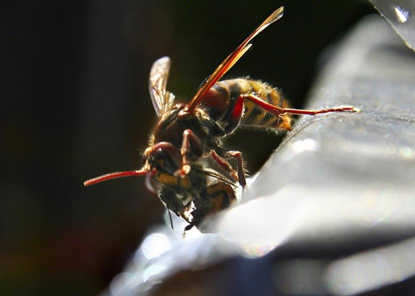 calabrone uccide un ape