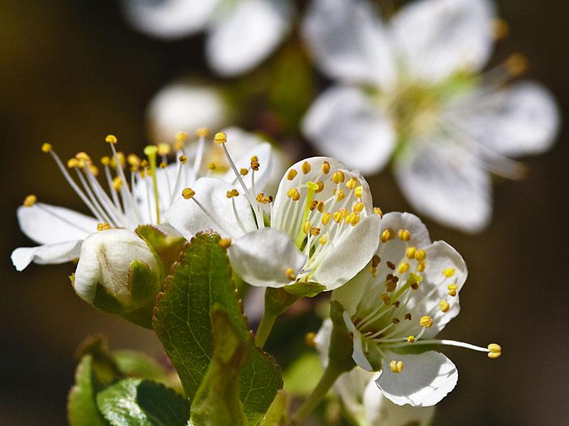 fiori di prunus
