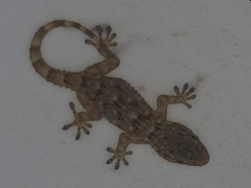 un gecko sul muro di casa