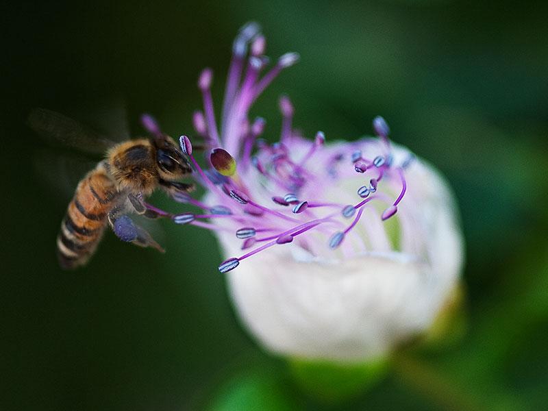 un ape si avvicina a un fiore di cappero