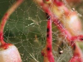 Tela di ragno tra fiori di corbezzolo e gocce