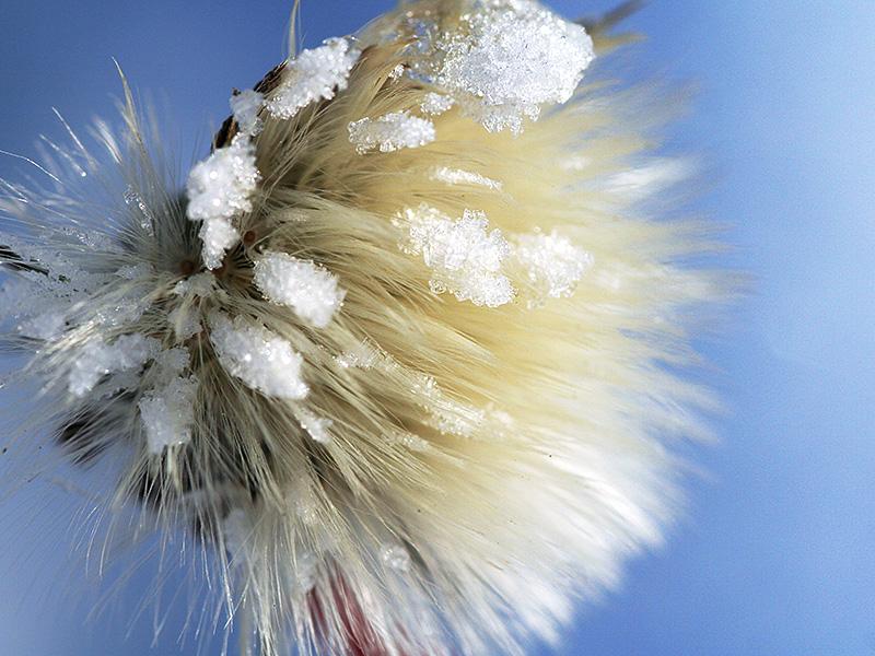 semi di tarassaco con fiocchi di neve su un prato a Figline Valdarno