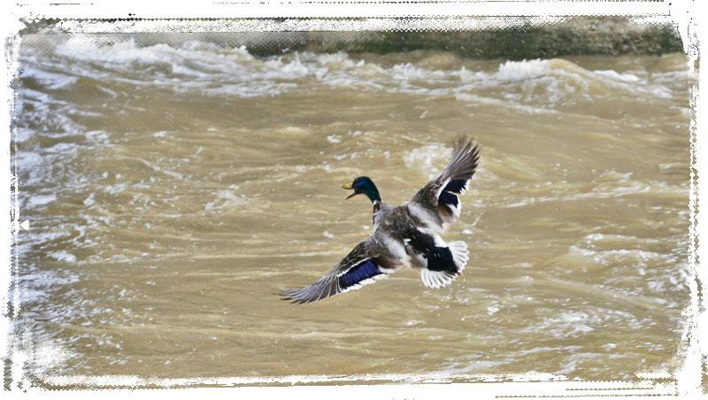 Un germano si alza in volo direttamente dall'Arno