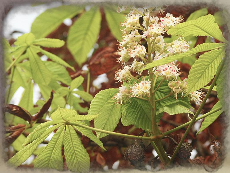 Ippocastano in fiore in autunno
