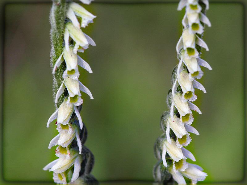 Rarissima orchidea fiorisce a  Figline, Spiranthes spiralis