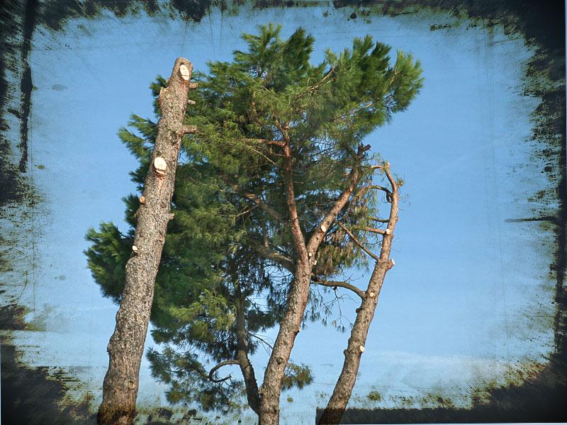 La morte dei pini a Figline