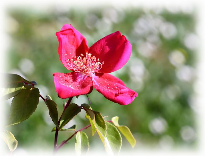 rosa rossa, prato verde, pratoline bianche, la bandiera italiana