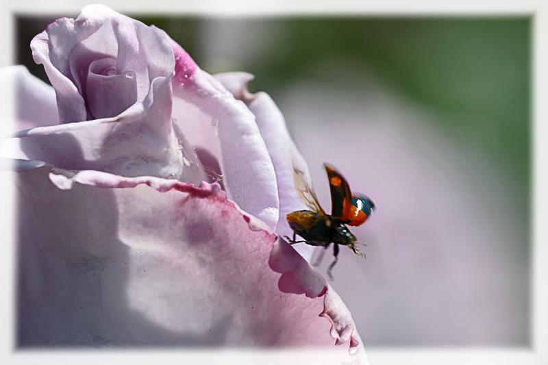 Una coccinella spicca il volo dal petalo di una rosa