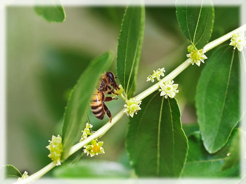 Un ramo fiorito di giuggiolo visitato da un ape mellifera