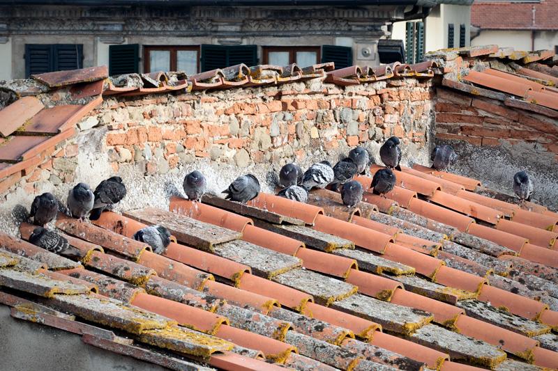 Un gruppo di piccioni infreddoliti sul tetto della Collegiata a Figline Valdarno