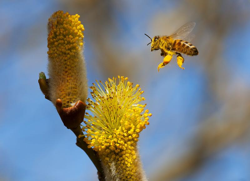 Un ape arriva ai fiori di salice pieno di polline