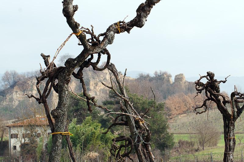 La vite maritata all'albero, loppo, davanti alle balze del Valdarno